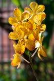 Orchidea gialla della filiale Immagini Stock Libere da Diritti