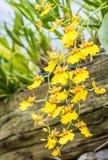 Orchidea gialla di oncidium fotografie stock
