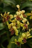 Orchidea gialla e rossa  ramo Fotografie Stock Libere da Diritti