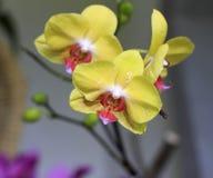 Orchidea gialla - phalaenopsis Fotografia Stock