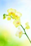 Orchidea gialla su fondo blu naturale immagine stock libera da diritti