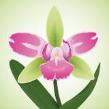 Orchidea graziosa con i colori verdi e rosa, illustrazione di vettore Fotografia Stock Libera da Diritti