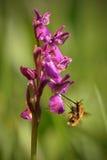 Orchidea i jej pollinator, oskrzydlona orchidea obrazy royalty free
