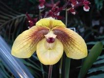 Orchidea insolita con i petali droopy fotografia stock