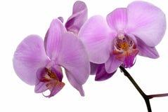 Orchidea isoladed na biel Zdjęcie Royalty Free