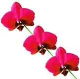 Orchidea isolata Fotografia Stock Libera da Diritti