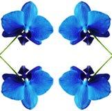 Orchidea isolata Fotografia Stock