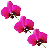 Orchidea isolata Fotografie Stock