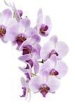 Orchidea isolata su bianco Fotografie Stock Libere da Diritti