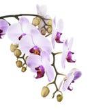 Orchidea isolata su fondo bianco Fotografie Stock
