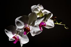 Orchidea isolated on  dark background Stock Image