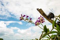 Orchidea izolacja czerwony storczykowy white Orchidea jest królową kwiaty Orchidea w zwrotniku Obraz Royalty Free
