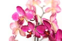 Orchidea kwitnie na białym tle Obrazy Royalty Free