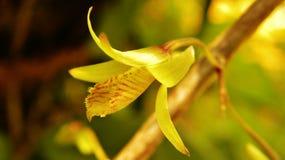 Orchidea kwitnie od sri lanki Obrazy Stock