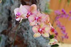 orchidea kwitnie Phalaenopsis Obraz Stock