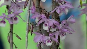 Orchidea kwitnie przy Singapur ogródem botanicznym zdjęcie wideo