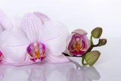 Orchidea kwitnie z odbiciem na białym tle Obraz Stock