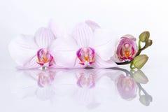 Orchidea kwitnie z odbiciem na białym tle Zdjęcie Stock