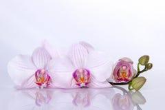 Orchidea kwitnie z odbiciem na białym tle Fotografia Royalty Free