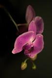 Orchidea lilla Fotografia Stock Libera da Diritti