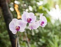 Orchidea lilla Fotografie Stock