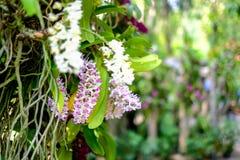 Orchidea lub Rhynchostylis gigantea Zdjęcia Stock