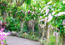 Orchidea lub Rhynchostylis gigantea Zdjęcie Royalty Free
