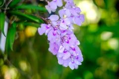Orchidea lub Rhynchostylis gigantea Obraz Royalty Free