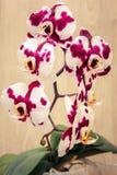Orchidea macchiata Fotografia Stock Libera da Diritti