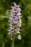 Orchidea macchiata comune Fotografia Stock Libera da Diritti