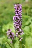 Orchidea macchiata Moorland Immagini Stock Libere da Diritti