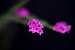 Orchidea miniatura fotografie stock