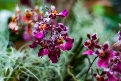 Orchidea miniatura porpora Fotografia Stock Libera da Diritti
