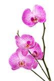 Orchidea na biały tle Obrazy Stock