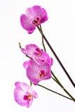 Orchidea na biały tle Zdjęcie Stock