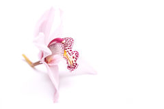 Orchidea na bielu Zdjęcia Royalty Free