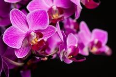 Orchidea na czarny tle Fotografia Stock