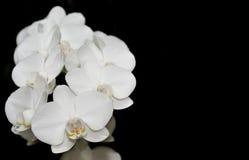 Orchidea na czarny tle Obraz Royalty Free
