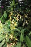 Orchidea nei giardini botanici di Singapore Immagine Stock