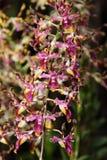 Orchidea nei giardini botanici di Singapore Immagini Stock