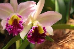 Orchidea nei giardini botanici di Singapore Fotografia Stock Libera da Diritti