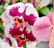 Orchidea nel rosa caldo fotografia stock libera da diritti