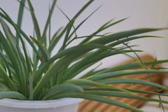 Orchidea nel salone Fotografie Stock Libere da Diritti