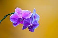 Orchidea odizolowywająca Obrazy Royalty Free