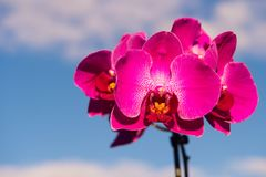 Orchid pink flower Royalty Free Stock Photo