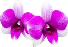Orchidea, orchidea porpora Immagini Stock