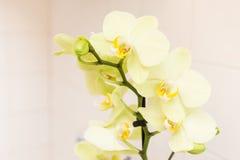 Orchidea, orchidea verde Immagini Stock