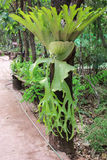 Orchidea, orecchio di elefante Fotografia Stock Libera da Diritti