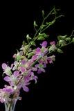 Orchidea pallida del dendrobium sul nero Fotografie Stock