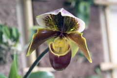 Orchidea Paphiopedilum genus Fotografia Royalty Free